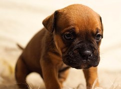 puppy-384647__180